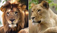 Lioness kills